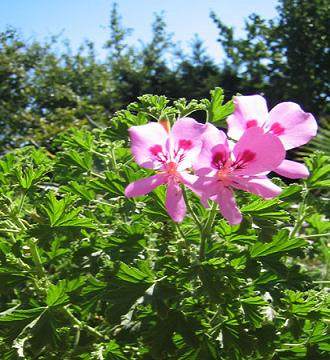 Geranio pelargonium natureplanet one - Geranio odoroso ...
